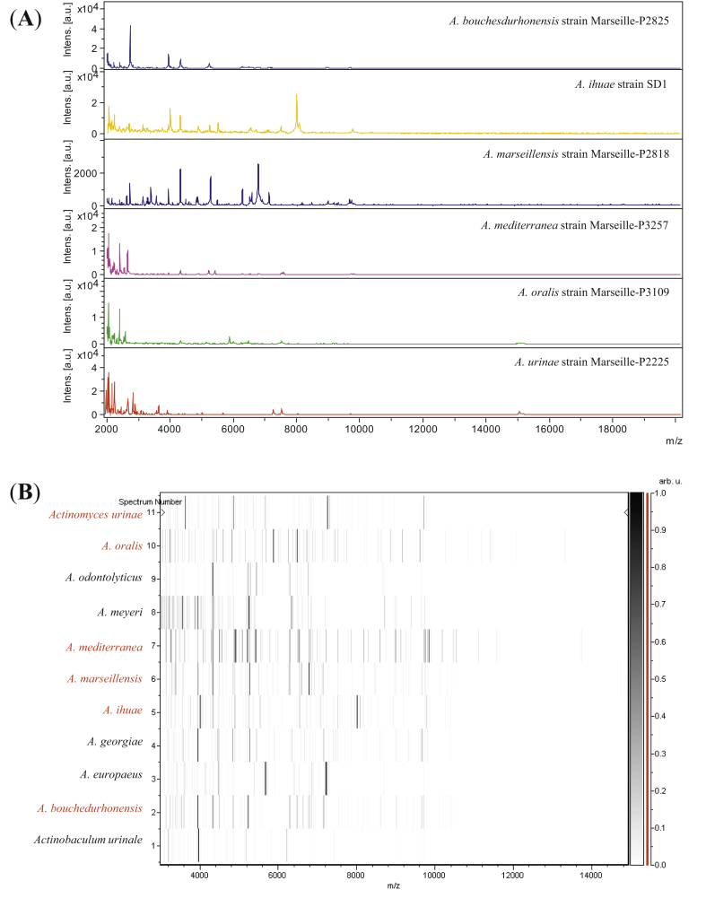Reference mass spectra from Actinomyces ihuae strain SD1, Actinomyces bouchesdurhonensis strain Marseille-P2825, Actinomyces urinae strain Marseille-P2225, Actinomyces marseillensis strain Marseille-P2818, Actinomyces mediterranea strain Marseille-P3257 and Actinomyces oralis strain Marseille-P3109. Spectra from 12 individual colonies were compared and each reference spectrum generated (A). Gel view comparing Actinomyces ihuae strain SD1, Actinomyces bouchesdurhonensis strain Marseille-P2825, Actinomyces urinae strain Marseille-P2225, Actinomyces marseillensis strain Marseille-P2818, Actinomyces mediterranea strain Marseille-P3257 and Actinomyces oralis strain Marseille-P3109 to other species within genus Actinomyces . Gel view displays raw spectra of loaded spectrum files arranged in pseudo-gel–like look; x -axis indicates m/z value and left y -axis running spectrum number originating from subsequent spectra loading. Peak intensity expressed by greyscale scheme code. Colour bar and right y -axis indicate relation between colour peak, with peak intensity in arbitrary units. Displayed species are indicated at left (B).