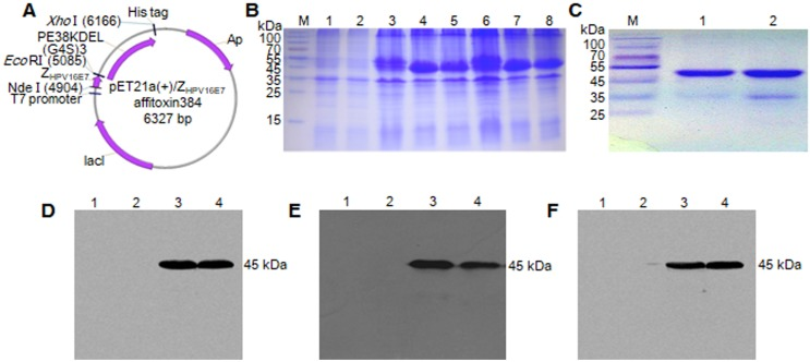 Expression and purification of Z HPV16 E7 affitoxin 384 protein. The pET21a (+)/Z HPV16 E7 affitoxin384 plasmid was transformed into E. coli BL21 (DE3). The protein was expressed and purified by Ni-NTA agarose affinity chromatography. (A) Schematic structure of pET21a (+)/Z HPV16 E7 affitoxin384 plasmid. (B) Comassie blue-stained SDS-PAGE gel of the recombinant proteins. M, protein marker; 1, Empty E.coli BL21 (DE3); 2, E.coli BL21 (DE3) transformed with pET21a empty vector; 3, E.coli BL21 (DE3) transformed with pET21a (+)/Z HPV16 E7 affitoxin384 plasmid; 4-5, E.coli BL21 (DE3) transformed with pET21a (+)/Z HPV16 E7 affitoxin384 plasmid and induced by 1 mM IPTG; 6, E.coli BL21 (DE3) transformed with pET21a (+)/Z wt affitoxin; 7-8, E.coli BL21 (DE3) transformed with pET21a (+)/Z wt affitoxin and induced by 1 mM IPTG. (C) Analysis of the purified Z HPV16 E7 affitoxin384 and Z wt affitoxin recombinant proteins by SDS-PAGE. M, protein marker; 1, Z HPV16 E7 affitoxin384; 2, Z wt affitoxin. (D-F) Confirmation of the expression of Z HPV16 E7 affitoxin384 and Z wt affitoxin recombinant proteins by western blot using the primary antibodies against His tag, PE38KDEL and SPA-Z, respectively. 1, Empty E.coli BL21 (DE3); 2, E.coli BL21 (DE3) transformed with pET21a empty vector; 3, E.coli BL21 (DE3) transformed with pET21a (+)/Z HPV16 E7 affitoxin384 plasmid and induced by 1 mM IPTG; 4, E.coli BL21 (DE3) transformed with pET21a (+)/Z wt affitoxin and induced by 1 mM IPTG.