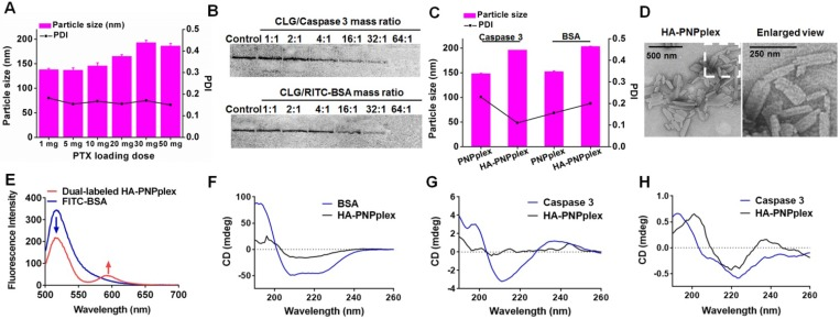 Preparation and characterization. (A) Impact of PTX-loading ranging from 1 mg to 50 mg on the particle size of PNPs. (B) Native PAGE study of caspase 3 or RITC-BSA loaded in PNPplex. The mass ratio of CLG and caspase 3 or RITC-BSA was increased from 1 to 64. (C) Particle size and PDI of the nanoparticles loading caspase 3 or BSA. (D) TEM image of HA-PNPplex. (E) Fluorescence emission spectra for FRET assay. FITC and RITC were used as the donor and acceptor, respectively. Dual-labeled HA-PNPplex (FITC-RITC-HA-PNPplex) were prepared by assembling FITC-BSA on RITC-PNPs followed by HA coating. Excitation wavelength: 492 nm. FRET effect is demonstrated via the reduction fluorescence intensity of donor at 520 nm with increased fluorescence of acceptor at 590 nm. CD spectra of functional proteins: (F-G) encapsulated proteins and (H) released caspase 3. The control was naked functional protein.