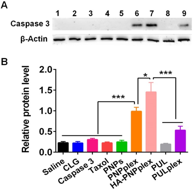 Intracellular protein delivery. Intracellular delivery of <t>caspase</t> 3 in MCF-7 cells after 48 h incubation at a fixed PTX concentration of 10 μg/mL and caspase-3 concentration of 76 nM. (A) WB assay: (1) saline, (2) CLG, (3) naked caspase 3, (4) Taxol, (5) PNPs, (6) PNPplex, (7) HA-PNPplex, (8) PUL, (9) PULplex. (B) Quantitative analysis ( n = 3, * P