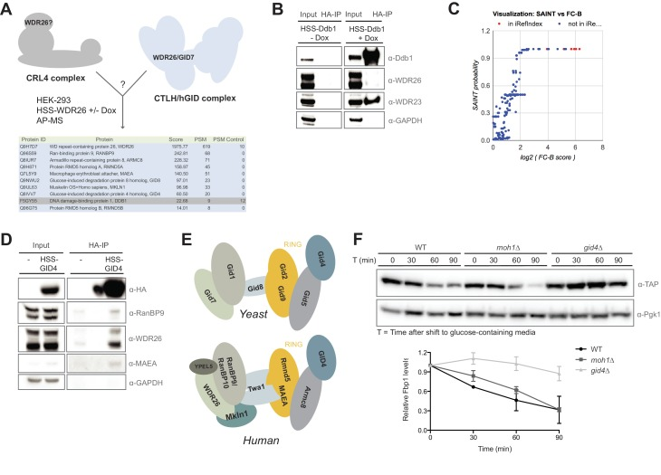 Compositional analysis of the mammalian GID complex. ( A ) AP-MS analysis of N-terminally HSS-tagged WDR26 in <t>HEK-293</t> cells from a doxycycline-inducible promoter using lentiviral transduction. HSS-WDR26 expression was induced for 24 hr and immunoprecipitated using HA-antibodies. The number of peptide spectral matches (PSM) of HSS-WDR26 and selected proteins in control - and WDR26 samples are listed in the table below. Note that in contrast to multiple hGID/CTLH subunits, the CRL4 core component Ddb1 is not enriched. ( B ) Immunoprecipitation of N-terminally HSS-tagged Ddb1 stably expressed in HeLa cells. The HA-peptide eluate (HA-IP) was probed for the presence of the canonical DCAF protein WDR23 and the putative CRL4 adapter WDR26. ( C ) SAINT analysis plot of previously annotated and novel Rmnd5a-HCIPs corresponding to Figure 1C . ( D ) Immunoprecipitation of a transiently expressed HSS-GID4 construct in HEK-293 cells was analyzed for the presence of the GID proteins RanBP9, WDR26 and MAEA. ( E ) Schematic illustration of the yeast GID E3 ligase (adapted from Menssen et al., 2012 ) and the potential architecture of the human GID complex (this study). ( F ) S. cerevisiae wild-type (WT), moh1∆ and gid4∆ deletion strains expressing Fbp1-TAP were grown o/n in YP + 3% EtOH before shifting into YP medium containing 2% glucose. Samples for immunoblot analysis were taken at the indicated time points and relative Fbp1-TAP levels were quantified using ImageJ.