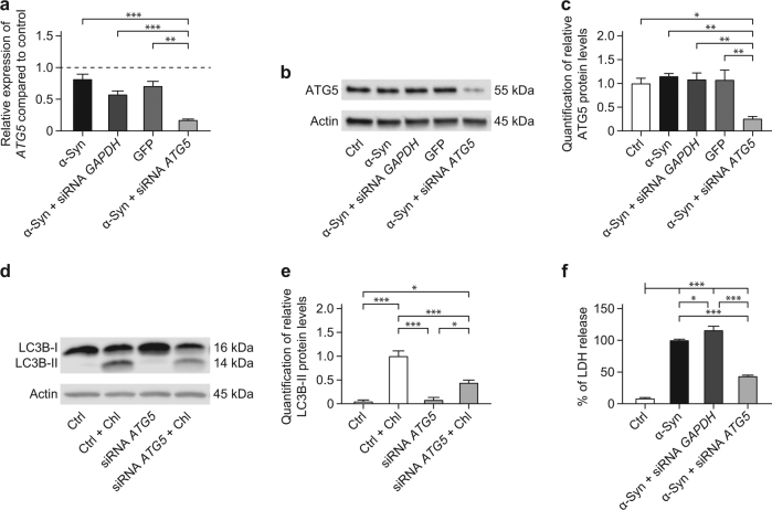 ATG5 siRNA protects against α-Syn-induced toxicity. The effect of ATG5 siRNA on ATG5 expression, autophagosome formation, and α-Syn-induced toxicity was analyzed. a qRT-PCR for ATG5 in cells overexpressing α-Syn, in cells overexpressing α-Syn and transfected with control siRNA against GAPDH , cells overexpressing the control protein GFP, and cells overexpressing α-Syn and transfected with ATG5 siRNA, showing the silencing efficacy of ATG5 siRNA on the mRNA level. The dashed line shows ATG5 levels in naïve (untransduced, untransfected) cells as reference. b Representative Western blot for ATG5 protein in naïve control cells (Ctrl) and cells in the conditions reported in a . β-actin was used as loading control. c Quantification of ATG5 protein, normalized to β-actin, from Western blots as shown in b , showing the silencing efficacy of ATG5 siRNA on the protein level. d Representative Western blot for the autophagosome marker LC3B in naïve cells (Ctrl), and cells transfected with ATG5 siRNA, with or without chloroquine (Chl) treatment to block autophagosome–lysosome fusion. e Quantification of LC3B-II protein, normalized to β-actin, from individual Western blots as shown in d , showing that Chl increases LC3B-II in naïve cells more than in ATG5 siRNA treated cells. f Quantification of lactate dehydrogenase (LDH) released into the culture medium as measure for toxicity. Data are expressed as percentage of α-Syn. ATG5 silencing significantly reduced α-Syn-induced toxicity. Data in a , c , e , f are mean ± standard error from n ≥ 3 biological replicates. * p