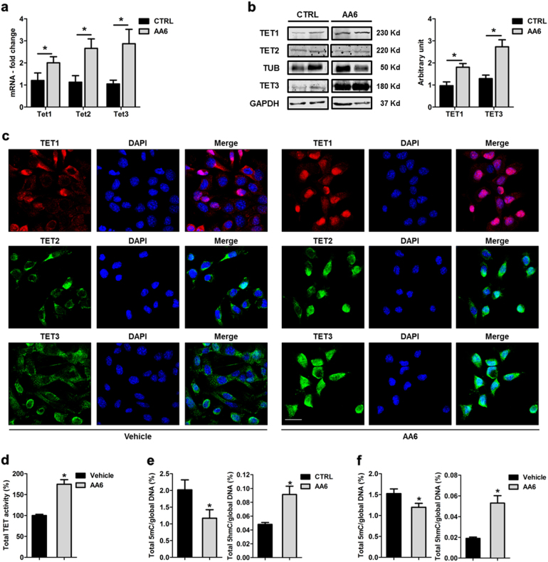 KGDH inhibition increases TET expression and modulates 5mC/5hmC global levels both in vivo and in vitro. a Ten-eleven translocation hydroxylases (Tet) -1, 2, 3 mRNA expression levels in AA6 injected mice (50 mg/kg; grey bars) and control mice (black bars); n = 5. b Representative western blot (left panel) and relative densitometry (right panel; n = 4) of TET1, 2, 3 in AA6 (50 mg/kg; grey bars) treated mice compared to controls (black bars). α-tubulin and Glyceraldehyde 3-phosphate dehydrogenase (GAPDH) were used as a loading controls. c Representative confocal images depicting the intracellular content of TET1, 2, 3 enzymes in 4T1 cells treated with AA6 (50 µM) or vehicle alone. Cells were probed by an anti-TET1 antibody (red; monoclonal), TET2 (green; polyclonal), TET3 (green; polyclonal) and counterstained by DAPI (blue). Scale bar 25 μm; n = 3. d TET activity quantification performed in 4T1 cells treated with AA6 (50 µM; grey bar) for 48 h indicated as percentage versus vehicle-treated cells (black bar); n = 3. e Quantification of 5mC (left panel) and 5hmC (right panel) global levels in 4T1-injected mice after AA6 administration (50 mg/kg; grey bars) compared to untreated mice (black bars); n = 5 each group. f Quantification of 5mC (left panel) and 5hmC (right panel) global levels in 4T1 cells exposed to AA6 (50 µM; grey bars) for 48 h indicated as fold-change versus vehicle-treated cells (black bars); n = 3 each group. Data are presented as mean ± SE; * p