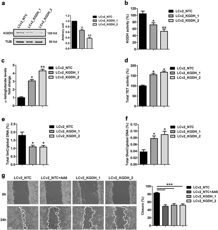 CRISPR/Cas9 KGDH inactivation increases α-KG levels, TET activity and global 5hmC and interferes with 4T1 cell line biological properties. a Representative WB (left panel) and relative densitometry (right panel) of KGDH protein levels in 4T1 cells after CRISPR/Cas9 inactivation of KGDH (LCv2_KGDH_1 and LCv2_KGDH_2) compared to control vector (LCv2_NTC). α-tubulin was used as a loading control; n = 5. b KGDH activity and c α-KG level quantification of LCv2_NTC- (black bars), LCv2_KGDH_1- (dark grey bars) and LCv2_KGDH_2- (light grey bars) 4T1 cells; n = 3 each group. d TET activity quantification performed in LCv2_KGDH_1- (dark grey bar) and LCv2_KGDH_2- (light grey bar) 4T1 cells compared to LCv2_NTC (black bar); n = 3. e Global 5mC and f 5hmC levels in 4T1 cells after CRISPR/Cas9 inactivation of KGDH (LCv2_KGDH_1 and LCv2_KGDH_2; grey bars) compared to control vector (LCv2_NTC; black bars); n = 3 each group. g Representative phase contrast microscopy images (left panel) and relative percentage of closure measurements (right panel) showing 4T1 cells motility after CRISPR/Cas9 inactivation of KGDH (LCv2_KGDH_1; medium grey bar and LCv2_KGDH_2; light grey bar) compared to control vector (LCv2_NTC; black bar) in the presence or absence of AA6 (50 µM; dark grey bars). Scale bar 100 μm; n = 3 each condition. Data are presented as means ± SE; * p