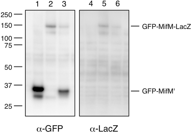 Electrophoretic visualization of the in vivo translation products. The gfp-mifM-lacZ gene fusion (lanes 1 and 4) and its mutant forms, fs41–60 (lanes 2 and 5) and GS41–60 (lanes 3 and 6), were expressed in B. subtilis , and the arrested (GFP-MifM') and the full-length (GFP-MifM-LacZ) translation products were detected by anti-GFP (lanes 1–3) and anti-LacZ (lanes 4–6) immunoblotting, respectively, after separation by SDS-PAGE. The tRNA moiety of the arrest product had been removed under the sample preparation conditions used. Full-length blots are presented in Supplementary Fig. 2A .