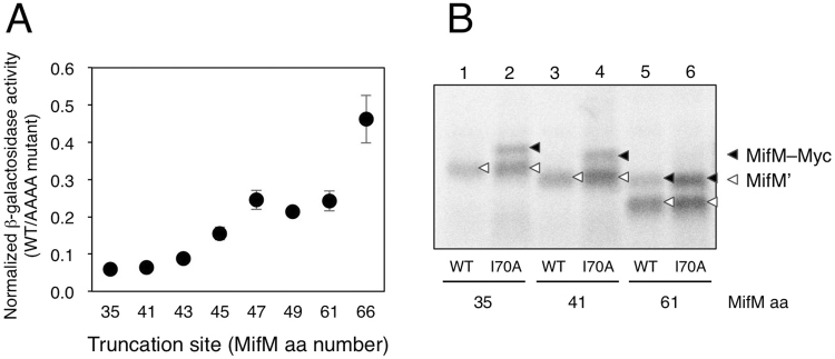 The absence of the MifM region N-terminal to residue 60 compromises the elongation arrest in vivo and in vitro . ( A ) Arrest efficiencies of MifM mutants lacking N-terminal sequences. β-galactosidase activities (mean ± s.d., n = 3) of cells harboring Pgrac-mifM-lacZ derivatives with the N-terminal truncations of MifM, with or without additional arrest-impairing mutation (AAAA) at the PTC-proximal region, were measured. The ratio of β-galactosidase activity (WT/AAAA) is shown for each N-terminal mutation. The numbers below the graph indicate the first MifM residues in the truncated MifM mutant derivatives (numbering by the wild-type MifM protein) ( B ) In vitro translation of MifM mutants lacking N-terminal sequences. Similar to ( A ), each N-terminal mutation was combined with a mutation I70A at a mid-tunnel region, which impairs the arrest partially (this mutation was used as it did not affect the electrophoretic mobility of MifM). DNA templates, with the N-terminal truncations indicated by the residues that now became the first mifM -encoded residues, were used to direct in vitro translation with Bs hybrid PURE system in the presence of 35 S-methionine. Samples were treated with RNase A, separated by SDS-PAGE and radioactive products were analyzed with a phosphorimager. Black and white triangles indicate full-length (MifM-Myc) and arrested (MifM') forms of the translation products, respectively. Full-length gel is presented in Supplementary Fig. 2C .