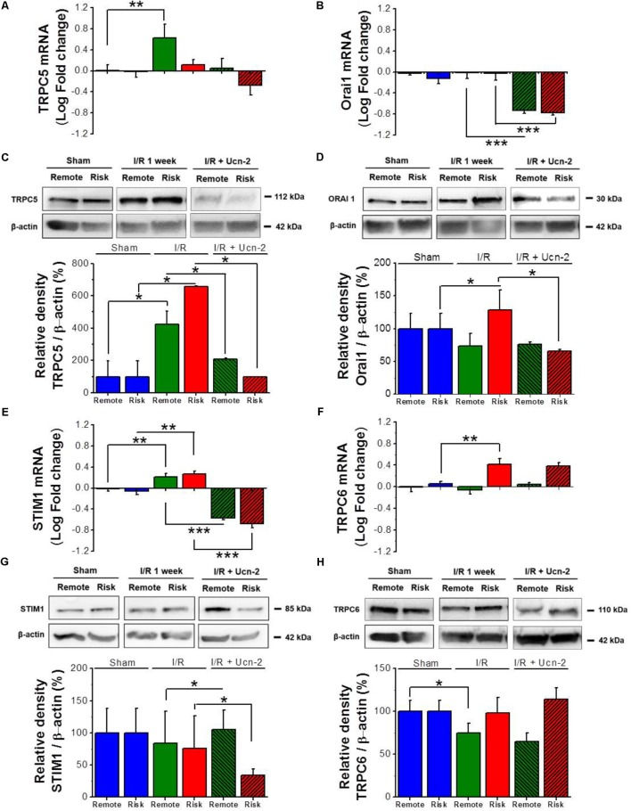 """Urocortin-2 regulates the expression of TRPC5, Orai1 and STIM1. (A,B,E,F) Bar graphs showing relative fold change of mRNA levels of TRPC5, Orai1, STIM1 and TRPC6 respectively. (C,D,G,H) Representative immunoblots (top) and quantification (bottom) of protein expression of TRPC5, Orai1, STIM1 and TRPC6 respectively assessed by Western Blots and normalized to their corresponding β-actin expression. Sample were from """"Sham"""" (blue bar); remote (green) and risk (red) zones processed 1 week after I/R. Hatched bars are for rats infused with Ucn-2 (150 μg/Kg). Values are mean ± SEM from 4 to 6 rats. ∗ , ∗∗ , ∗∗∗ Indicate significance at p"""