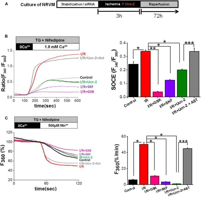 """Urocortin-2 inhibits I/R-induced exacerbated SOCE in NRVMs. (A) Experimental protocol of cultured NRVMs subjected to I/R and Ucn-2 (10 nM). (B) Representative traces (left) showing the changes in [Ca 2+ ] i in Fura-2 loaded NRVMs, presented as ratio (F 340 /F 380 ). In right, bar graph illustrating data summary of experiments as in left. (C) Representative traces (left) and data summary (right) of Mn 2+ influx-induced Fura-2 quenching expressed in percent change of F 360 fluorescence after the administration of Mn 2+ (500 μM). Thapsigargin (TG, 2 μM) and nifedipine (NIF, 10 μM) were applied 4 min in the absence of extracellular Ca 2+ and then Ca 2+ (1.8 mM) was added as indicated. """"Control"""" indicates responses of NRVMs to TG, """" I/R """" is for NRVMs under protocol of I/R, """" I/R+Ucn-2 """" is NRVMs treated with Ucn-2 during I/R, """" I/R+Ucn-2+Ast """" indicates NRVMs pre-incubated with astressin (0.5 μM) before Ucn-2 addition in I/R, """" I/R+SKF """" indicates NRVMs pre-incubated with SKF-96365 (40 μM), and """" I/R + GSK """" indicates NRVMs pre-incubated with GSK-7975A (10 μM). n = 100–250 cells from 5–10 cultures. Data are mean ± SEM. ∗ , ∗∗ , ∗∗∗ indicate significance at p"""