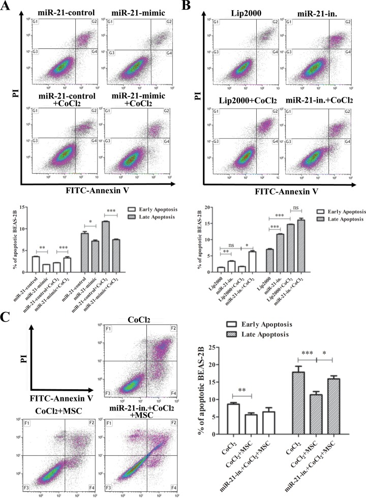 MiR-21-mediated the anti-apoptotic effects of MSCs to hypoxia-induced BEAS-2B cell injury. Beas-2B cells were transfected with miR-21 mimic (a) or miR-21 inhibitor (b), exposed to CoCl 2 for 12 h and cultured in complete medium for 24 h. Cells were collected for apoptosis assay. A random sequence was used as a control for the miR-21 mimic group. The administration of lip2000 was used as a control for the miR-21 inhibitor group. (c) BEAS-2B cells were labeled with cell trace violet for 20 min, seeded in plates, transfected with miR-21 inhibitor and exposed to CoCl 2 for 12 h, followed by co-culture with or without MSCs for an additional 24 h. Apoptosis of cell trace positive BEAS-2B cells was analyzed using flow cytometry. Data are representative of three separate experiments. Data are shown as the mean ± SD. * p
