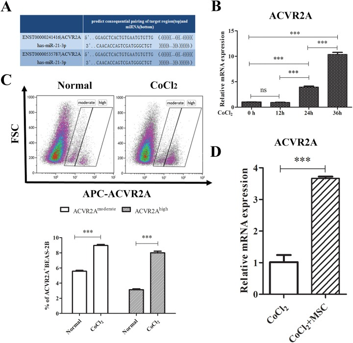 ACVR2A expression increased in CoCl2 induced BEAS-2B cells. (a) Schematic indicates the interaction sites for human miR-21, which is harbored in the 3'UTR of human ACVR2A. (b) BEAS-2B cells were treated with 400 μM CoCl 2 for 0, 12 h, 24 h and 36 h. The relative expression of ACVR2A mRNA was examined via qRT-PCR. (c) BEAS-2B cells were treated with 400 μM CoCl 2 for 36 h, and the ACVR2A protein level was examined using flow cytometry. (d) BEAS-2B cells were treated with 400 μM CoCl 2 for 12 h and subsequently co-cultured with or without MSCs for 36 h. BEAS-2B cells were harvested and isolated by cell sorting for PCR assay. Data are shown as the mean ± SD from three independent experiments. *** p