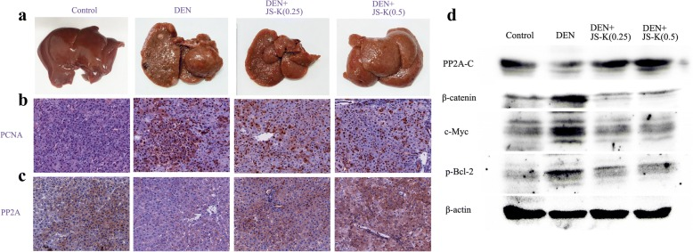 JS-K inhibits the growth of rat primary hepatic carcinoma in vivo ( n = 8). a The photographs of livers in control, DEN-treated and JS-K-treated groups. b - c IHC staining of PCNA and PP2A (200 × magnifcation) in control group, DEN group, and DEN+JS-K groups (0.25 mg/kg and 0.5 mg/kg). d The expression levels of PP2A-C, β-catenin, c-Myc and p-Bcl-2 in rat model of primary hepatic carcinoma were analyzed by western blot
