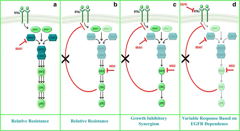 Working model of intra-pathway feedbacks and BRAF/MEK growth-inhibitory synergism. a In BRAF-wt/KRAS-mut contexts, selective BRAF inhibition induces BRAF-CRAF dimerization, which hyperactivates the MAPK pathway, thus resulting in relative resistance to treatment. In BRAF-wt/KRAS-wt contexts, paradoxical MAPK activation may be sustained by the RAS-dependent upstream signaling of RTKs (in particular EGFR family members). b Upon allosteric MEK inhibition, the MAPK pathway downstream of a mutant KRAS is efficiently shut down; however, MEK inhibition-induced removal of ERK-mediated feedback RTK inhibition may result in incomplete MAPK pathway inhibition or pathway reactivation, again resulting in relative resistance to the drug. c Combined BRAF/MEK inhibition results in efficient pathway blockade and a synergistic effect on cell growth inhibition, particularly downstream of a mutant KRAS; however, as highlighted also in panel b, in KRAS-wt contexts removal of ERK-mediated feedback RTK inhibition may result in RTK-dependent pathway (re)activation, thus resulting in only partial blockade of downstream signaling. d Thus, in KRAS-wt contexts, triple RTK (EGFR family in the specific case discussed here)/BRAF/MEK inhibition is hypothesized to completely prevent paradoxical MAPK activation; functional growth-inhibitory synergism will then vary according to the degree of intrinsic sensitivity/resistance to RTK inhibition