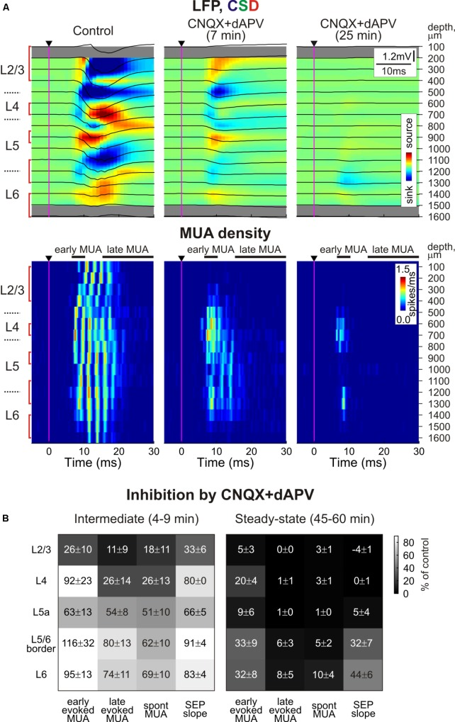 Depth profile of CNQX and dAPV action on barrel cortex activity. (A) Top , Stimulus-triggered LFP averages (black traces) of sensory responses evoked by principal whisker deflection across cortical depths of corresponding barrel column overlaid on color-coded current source density plot (CSD) in control, 7 and 25 min after 500 μM CNQX and 2 mM dAPV application (25 responses were averaged for each CSD plot). Bottom , corresponding stimulus-triggered averages for MUA. Stimulus onset is indicated by the black arrowhead and vertical magenta line. The cortical layer borders are shown left of the CSD and MUA density plots, and recording electrode depths are shown on the right. Red square brackets indicate the electrodes of the recording that were used for building group data plots on panel (B) . The gray bars above MUA density plots limit the time windows for early and late MUA density calculation. (B) Group data (from 11 animals and two concentrations, 170 μM CNQX/700 μM dAPV and 0.5 mM CNQX/2 mM dAPV) on the magnitude of CNQX and dAPV effect on early and late components of the sensory-evoked MUA, spontaneous MUA and SEP slope at the beginning of drug application (4–9 min, the time point corresponding to SEP slope reduction by 20% of control values) and at the end of 1 h of application (45–60 min). Note the gradual development of CNQX/dAPV effect from superficial toward deep cortical layers, and the persistence of early evoked L4 spikes after full blockade of SEP and nearly complete block of evoked MUA in L2/3 and L5a.