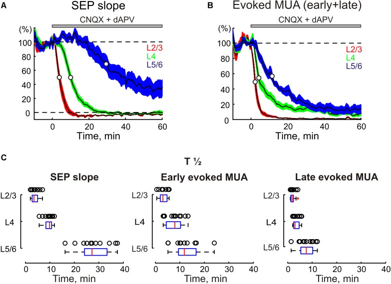The time course of CNQX and dAPV effect on sensory evoked responses through the depth of the barrel cortex. The decrease in SEP slope (A) and MUA during SEP (B) in different layers of cortical barrel column following application of CNQX and dAPV. The application time is shown with a gray bar above the plot. White circles on the curves indicate a half-maximal effect time (T½). The colored areas surrounding each curve show SE bands. (C) Statistical data on T½ of CNQX and dAPV effect on SEP slope ( left ), early evoked MUA ( middle ) and late evoked MUA ( right ) across cortical layers. The open circles correspond to individual experiments. The medians of boxplots are shown by red lines. (A–C) , pooled data from 11 animals and two concentrations, 170 μM CNQX/700 μM dAPV and 0.5 mM CNQX/2 mM dAPV.