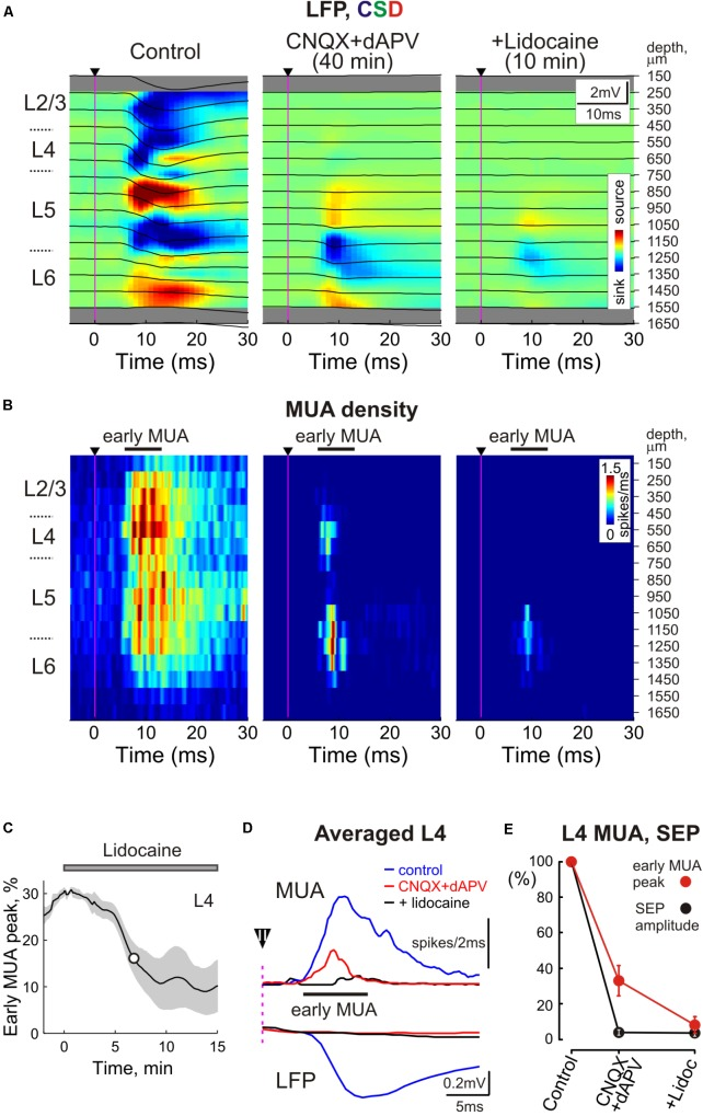 Sensory evoked activity resistant to ionotropic glutamate receptor antagonists in the thalamorecipient cortical layers. (A) Top , Stimulus-triggered LFP averages ( n = 30 responses; black traces) of sensory responses evoked by principal whisker deflection across cortical depths of the corresponding barrel column overlaid on color-coded current source density plot (CSD) in control, 40 min after 500 μM CNQX and 2 mM dAPV application, and 10 min after consecutive 2% lidocaine application. (B) Corresponding stimulus-triggered averages for MUA ( n = 30 responses). Stimulus onset on (A,B) is indicated by the black arrowhead and vertical magenta line. The cortical layer borders are shown left of the CSD and MUA density plots, and recording electrode depths are shown on the right. (C) The time course of early evoked L4 MUA suppression by 2% lidocaine epipially applied (gray bar above the plot) after the full blockade of SEP by CNQX/dAPV. The shaded area around the curve show SE bands ( n = 4 animals). The white circle on the curve indicates a half-maximal effect time (T½). (D) Averaged L4 LFP and MUA in control, in the presence of CNQX and dAPV, and after lidocaine application. Before averaging, individual LFP and MUA curves were aligned by the onset of SEP. Black arrowhead with an error bar above the dashed magenta line shows a mean time with SE between the stimulus and SEP onset. (E) Normalized mean values of SEP amplitude and early MUA peak in cortical L4 in control, in the presence of CNQX and dAPV, and after lidocaine application. (D,E) Show averaged data from 11 animals and two concentrations, 170 μM CNQX/700 μM dAPV and 0.5 mM CNQX/2 mM dAPV.