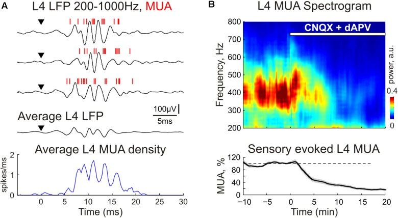 The CNQX and dAPV effect on sensory evoked fast oscillations (FO) in cortical layer 4. (A) Three representative traces (after high-pass filtering, 200–1000 Hz) show fast L4 LFP and MUA oscillations evoked by sensory stimulation. Red bars overlaid on the LFP traces are detected spikes (MUA). Stimulus onset is indicated by the arrowhead. Corresponding PSTH of evoked MUA averaged over 30 responses is shown under the LFP traces. (B) Top , averaged power spectrum of evoked L4 MUA before and during CNQX/dAPV application (application time is shown with a white bar). Bottom , the time-course of sensory-evoked (early + late) MUA suppression by CNQX/dAPV. Shaded area shows SE bands. Data were averaged over 11 animals and two concentrations, 170 μM CNQX/700 μM dAPV and 0.5 mM CNQX/2 mM dAPV.