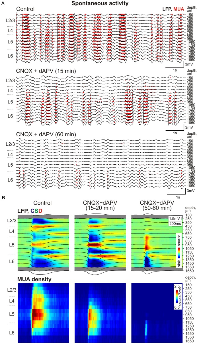 The CNQX and dAPV action on spontaneous activity through the depth of the barrel column. (A) Example traces of 16-channel recording of barrel cortex activity in control ( top ), 15 min after epipial application of 500 μM CNQX and 2 mM dAPV ( middle ), and 60 min after drug application ( bottom ). Red bars indicate detected spikes (MUA). (B) Corresponding current source density (CSD, upper panels ) and MUA density ( lower panels ) plots of averaged up-states recorded in control and after drug application (150 events were averaged for each condition). LFP traces (black) are overlaid on color-coded CSD plots. The cortical layer borders on (A,B) are shown left of the CSD and MUA density plots, and recording electrode depths are shown on the right.