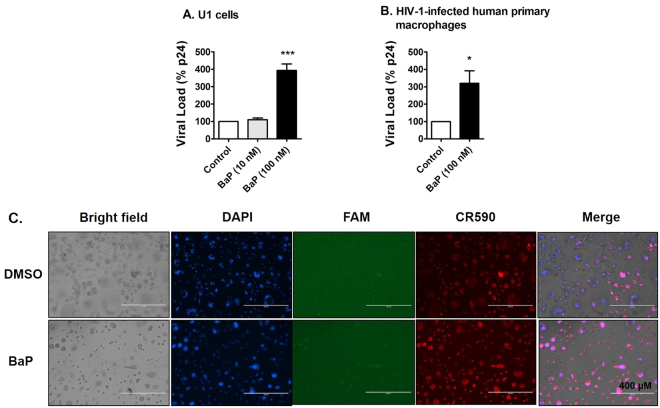 Chronic treatment of BaP induces HIV-1 replication and apoptotic DNA damage in HIV-1-infected macrophages. ( A ) The U1 cells were treated with 10 nM and 100 nM BaP for seven days. After the BaP treatment, the U1 cells were stimulated with 100 nM of Phorbol 12-myristate 13-acetate (PMA) to produce HIV-1. Supernatants were collected after two days of differentiation, which were used for the p24 ELISA assay to assess the viral load. The chronic (7 days) treatment of BaP (100 nM) significantly increased the viral replication in U1 cells, while the 10-fold lower concentration did not have any significant effect. The data is displayed as mean ± SEM (n = 6), calculated as a percentage of the control. ( B ) HIV-infected human primary macrophages were treated with BaP (100 nM) for 3 days. The supernatant was collected thereafter and used for the p24 ELISA assay to assess the viral load. The acute (3 days) treatment of BaP (100 nM) significantly increased the viral replication in HIV-1-infected primary macrophages. The data is displayed as mean ± SEM (n = 4). For calculating the viral load, we subtracted the nonspecific background reading from the actual absorbance values. Since the residual viral load varies from experiment to experiment in U1 cells, we normalized the control values for each experiment to 100% and calculated the values for the treated, as the percentage of the control. The statistical significance was calculated at *p ≤ 0.05, where *** represents p ≤ 0.0005, compared with the control group. ( C ) The apoptotic DNA damage assay was performed on the treated cells. DAPI, FAM and CR590 stained nucleus (blue), apoptotic DNA damage with DNase Type II ends (green) and Type I ends (red) respectively. A higher signal for CR590 is visible in the fluorescent images, indicating apoptotic DNA fragmentation with DNase Type I ends in the infected human primary macrophages after BaP (100 nM) exposure for 3 days. DNA fragmentation with DNase Type II ends (green) was not vis