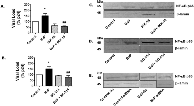 Treatment of NFκ-B inhibitors reduce <t>HIV-1</t> replication in U1 cells due to BaP exposure. U1 cells were concomitantly treated with BaP (1 µM) and NFκ-B inhibitors, IKK-16 (400 nM) ( A ), and SC-514 (10 µM) ( B ) for 3 days. After the treatment, supernatants were collected to determine the viral load using the <t>p24</t> <t>ELISA</t> assay. HIV-1 replication due to BaP (1 µM) exposure was significantly rescued by NFκ-B inhibitors, IKK-16 (400 nM) and SC-514 (10 µM). *Represents p ≤ 0.05 compared with the control group while ## represents p ≤ 0.005 compared to the BaP-treated groups. Western blots were run using the nuclear fraction proteins obtained from the BaP-exposed cells treated with IKK-16 ( C ) SC-524 ( D ) or siRNA CYP1A1 ( E ) to determine the expression of NFκ-B p65 subunits. The blots indicate that treatment with both the NFκ-B inhibitors and CYP1A1 siRNA reduced the expression of NFκ-B p65 in the nuclear fraction protein of the BaP-treated cells compared to the control. The blots presented are representative of at least three different experiments.