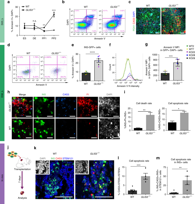 Loss of GLIS3 leads to increased cell death in PP2 and PP2-β cells. a Quantification of early apoptotic cells (the percentage of Annexin V + /DAPI − cells) in WT and GLIS3 −/− ES, DE, PP1, and PP2 cells ( n = 3). b Representative flow cytometry analysis plots of Annexin V staining in WT and GLIS3 −/− cells at D23_L. c Immunostaining for PDX1 and cleaved caspase-3 in WT and GLIS3 −/− cells at D23_L. Scale bar = 40 μm. Annexin V staining ( d ) and quantification ( e ) of early apoptotic cells in the INS-GFP + cells at D30_L ( n = 6). Histogram showing fluorescence intensity ( f ) and quantification of median fluorescence values ( g ) of Annexin V staining of WT and GLIS3 −/− INS + DAPI − PP2-β cells (WT n = 4, GLIS3 −/− n = 6). h PI, cleaved caspase-3 and INS staining of WT and GLIS3 −/− cells at D30_L. Scale bar = 40 μm. i Quantification of cell death rate (the percentage of PI + INS + cells in INS + cells) and apoptosis rate (the percentage of cleaved caspase-3 + INS + cells in INS + cells) of WT and GLIS3 −/− INS + PP2-β cells ( n = 3). j Schematic representation of the in vivo transplantation experiment. k Immunostaining for INS, cleaved caspase-3 and STEM121 in the grafts of mice transplanted with WT or GLIS3 −/− cells. Scale bar = 100 μm. l Quantification of the apoptosis rate (the percentage of cleaved caspase-3 + / STEM121 + cells in STEM121 + cells) within WT and GLIS3 −/− grafts ( n = 7 for WT, n = 4 for GLIS3 −/− ). m Quantification of the percentage of apoptotic INS + cells (CAS3 + PDX1 + STEM121 + ) in the INS + population within the WT and GLIS3 −/− grafts (INS + STEM121 + , WT n = 7, GLIS3 −/− n = 4). CAS3: cleaved caspase-3. P values by unpaired two-tailed Student's t -test were * P