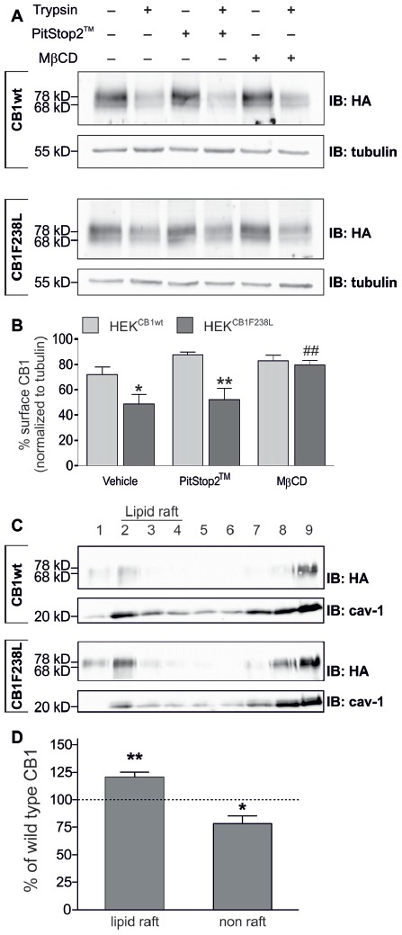 """Surface expression of HA-CB1F238L compared with HA-CB1wt after inhibition of clathrin coated pit or caveolae mediated endocytosis. (A) HEK293 cells stably expressing HA-CB1wt or HA-CB1F238L were treated either for 15 min with 20 μM PitStop2™ to inhibit clathrin coated pit endocytosis or for 30 min with 5 mM <t>methyl-β-cyclo-dextrin</t> (MβCD) to inhibit caveolae mediated endocytosis. Surface expression was analyzed by a trypsin protection assay. (B) Only MβCD treatment significantly increased surface expression of CB1F238L receptor. (Two way ANOVA and Bonferroni's post hoc test. Data are presented as the mean ± SEM of n = 4 independent experiments. Surface HA-CB1 was calculated and expressed as percent of total HA-CB1 as described in """"Materials and Methods"""" section * p"""