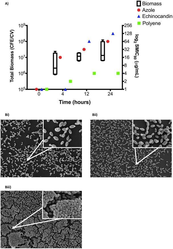 Candida auris biofilm development correlates with increased antifungal tolerance. Candida auris biofilms were standardized at 1 × 10 6 CFU/ml and grown for 4, 12, and 24 h. Biofilm biomass was then quantified using the crystal violet assay, with the composition of biofilm cells enumerated using qPCR and represented by a box-and-whisker plot as the total biomass of four C. auris isolates (A, left y axis). Planktonic susceptibility testing was performed against serially diluted miconazole, micafungin, and amphotericin B concentrations using the CLSI guidelines, with biofilm susceptibility testing performed using the XTT assay and with median MIC values plotted (A, right y axis). In addition, biofilms were grown, fixed, and processed for SEM before imaging using a JEOL-JSM-6400 scanning electron microscope. Micrographs represent lower magnification (×1,000) and higher magnification (inset, ×5,000) of biofilms grown for 4 h (Bi), 12 h (Bii), and 24 h (Biii).