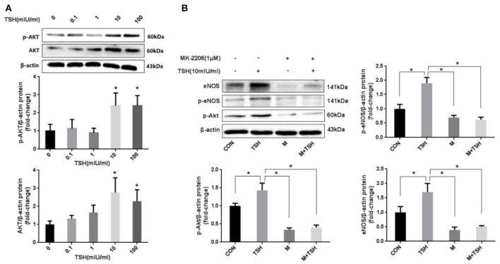 Role of Akt in the induction by TSH of eNOS in HUVECs. (A) Protein expression of Akt in HUVECs stimulated by different concentrations of TSH (0, 0.1, 1, 10, and 100 mIU/ml) for 24 h; (B) Inhibition of Akt: HUVECs were pretreated with 1 μM of MK-2206 for 6 h or not, and then together with or without TSH (10 mIU/ml) for 24 h. Data were obtained from three separate experiments. HUVECs without stimulating with TSH (0 mIU/ml) served as control; M represented MK-2206; * P