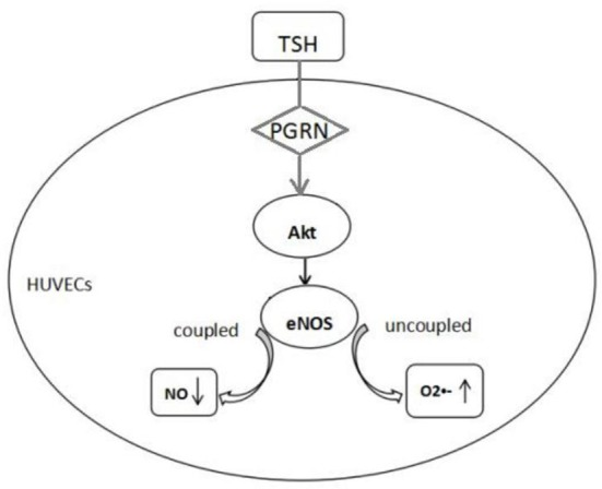 Proposed mechanism of endothelial dysfunction induced by TSH. TSH up-regulated eNOS expression in HUVECs by PGRN through Akt pathway. Reduction in NO production and increase in superoxide anion indicated uncoupled eNOS.