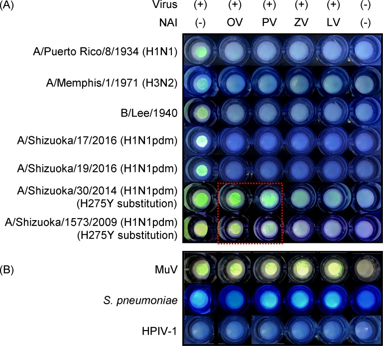 Detection of drug-resistant viruses in the BTP3-based filter method. (A) 100 μM BTP3-Neu5Ac supplemented with or without 10 μM NAIs was added directly onto the influenza virus-loaded filter membranes. After 15 min at 56°C, BTP3 was visualized with a handheld UV flashlight and NAI susceptibility was evaluated by comparing the fluorescent images for NAI (-) and NAI-supplemented samples. NAI susceptibility of seven influenza virus strains was assessed for each NAI. (B) Fluorescence patterns of agents that may cause false-positive results. MuV, S . pneumoniae , and HPIV-1 with known titres were loaded onto the filter membranes and BTP3-Neu5Ac reaction was carried out as described in (A). OV, PV, ZV, and LV represent oseltamivir, peramivir, zanamivir, and laninamivir, respectively.