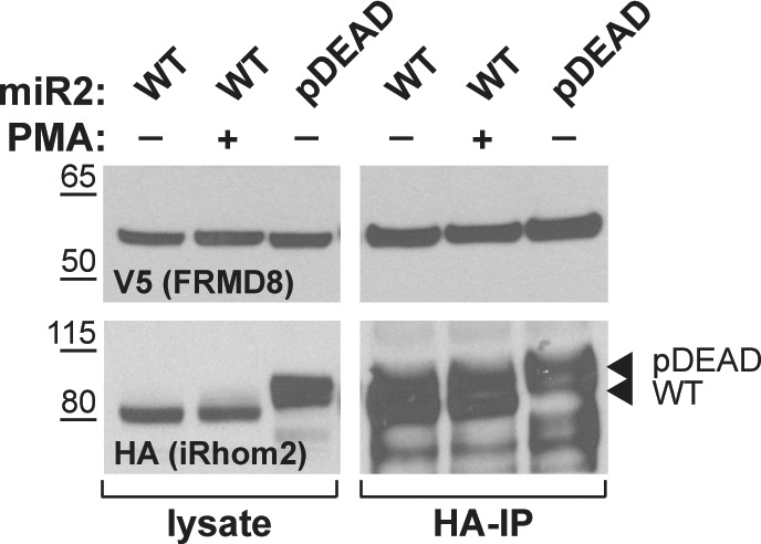 Lysates and anti-HA immunoprecipitation (HA-IP) from HEK293T cells transiently transfected with human FRMD8-V5 and mouse iRhom2 WT (WT) or iRhom2 pDEAD (pDEAD) were immunoblotted for V5 and HA. Where indicated cells have been stimulated with 200 nM PMA for 30 min.