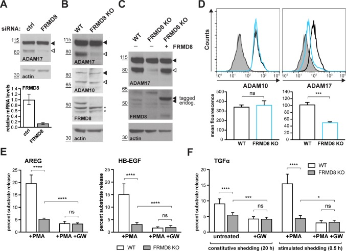 FRMD8 loss reduces mature ADAM17 levels and impairs ADAM17-dependent shedding activity. ( A ) ADAM17 levels were analysed in HEK293T cells transfected with non-targeting siRNA control pool (ctrl) or FRMD8 SMARTpool siRNA after western blotting with anti-ADAM17 and anti-actin staining. In this and subsequent figures, pro- and mature form of ADAM17 are indicated with black and white arrowheads, respectively. Lower panel: Knockdown efficiency of FRMD8 was analysed by TaqMan PCR. ( B, C ) Lysates from wild-type (WT) and FRMD8 knockout (KO) HEK293T cells, transiently transfected with FRMD8-V5 for 72 hr (where indicated) and immunoblotted for endogenous ADAM17, ADAM10, FRMD8 and actin using western blotting. Nonspecific bands are marked with an asterisk. ( D ) Cell surface levels of endogenous ADAM10 and ADAM17 were analysed in WT and FRMD8 KO HEK293T cells after stimulation with 200 nM PMA for 5 min. Unpermeabilised cells were stained on ice with ADAM10 and ADAM17 antibodies, or only with the secondary antibody as a control (grey). The immunostaining was analysed by flow cytometry. The graph shown is one representative experiment out of four biological replicates. The geometric mean fluorescence was calculated for each experiment using FlowJo software. Statistical analysis was performed using an unpaired t-test. ( E, F ) WT and FRMD8 KO HEK293T cells were transiently transfected with alkaline phosphatase (AP)-tagged AREG, HB-EGF or TGFα, and then either incubated with 200 nM PMA, with 200 nM PMA and 1 µM GW (ADAM10/ADAM17 inhibitor), or with DMSO for 30 min. In addition, cells transfected with AP-TGFα were either left unstimulated for 20 hr or incubated with GW for 20 hr. AP activity was measured in supernatants and cell lysates. Each experiment was performed in biological triplicates. The results of three independent shedding experiments are shown. Statistical analysis was performed of using a Mann-Whitney test. ns = p value > 0.05; *=p value