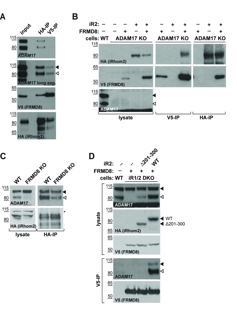 iRhom2 binds to FRMD8 and ADAM17 simultaneously. ( A ) Lysates, anti-HA and anti-V5 immunoprecipitations (HA-IP, V5–IP) of HEK293T cells co-expressing human iRhom2-3xHA and human FRMD8-V5 were immunoblotted for ADAM17, HA and V5. ( B ) Lysates of wild-type (WT) and ADAM17 knockout (KO) HEK293T cells were transiently transfected with human iRhom2-3xHA and FRMD8-V5 (where indicated), anti-HA and anti-V5 immunoprecipitated (HA-IP; V5–IP) and immunoblotted for ADAM17, HA, and V5. ( C ) Lysates of WT and FRMD8 KO HEK293T cells stably expressing human iRhom2-3xHA were anti-HA immunoprecipitated (HA-IP) and stained for ADAM17 and HA. Nonspecific bands are indicated by an asterisk. ( D ) Lysates of WT and iRhom1/2 double knockout (DKO) HEK293T cells stably expressing human iRhom2 WT -3xHA or iRhom2 Δ201-300 -3xHA were anti-V5 immunoprecipitated (V5–IP) and immunoblotted for ADAM17, HA and V5.
