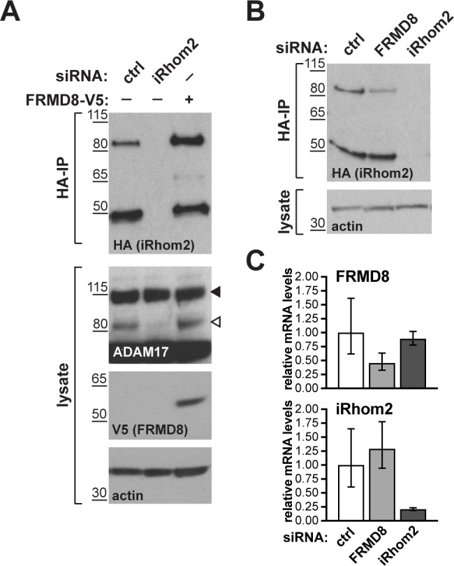 FRMD8 stabilises endogenous iRhom2. ( A, B ) Levels of endogenously 3xHA tagged iRhom2 were analysed in HEK293T-iRhom2-3xHA cells transfected with FRMD8-V5 plasmid, siRNAs targeting iRhom2, non-targeting siRNA control pool (c trl) or FRMD8 SMARTpool siRNA. Cell lysates were anti-HA immunoprecipitated (HA-IP) to detect endogenous iRhom2-3xHA levels and immunoblotted using anti-HA antibody. Cell lysates were immunoblotted for ADAM17, V5, and actin. ( C ) FRMD8 and iRhom2 mRNA levels relative to actin mRNA levels were determined by TaqMan PCR in cells used for the experiment shown in ( B ) to demonstrate that the destabilisation of endogenous iRhom2 was not induced by a change in iRhom2 mRNA levels.