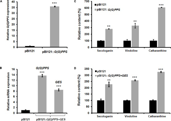 Effect of transient overexpression of G(G)PPS and GES in C. roseus leaves. mRNA expression (A,B) and metabolite (C,D) analyses in C. roseus leaves infiltrated with A. tumefaciens carrying pBI121 empty vector (black bar), pBI121:: G(G)PPS and co-infiltrated with pBI121:: G(G)PPS +pBI121:: GES (gray bar) constructs. Transcripts were analyzed by qRT-PCR with CrN227 as an endogenous reference gene. Expression levels were normalized to CrN227 and are represented as expression relative to the pBI121 controls that was set to 1. Relative amounts of secologanin, vindoline, and catharanthine in C. roseus leaves were quantified by HPLC analysis. Secologanin was extracted from 50 mg (fresh weight) of leaves and quantified following Tikhomiroff and Jolicoeur (2002) . The monomeric alkaloids vindoline and catharanthine were extracted using 10 mg of oven dried leaves according to Lourdes Miranda-Ham et al. (2007) , and quantified following Kumar et al. (2015) . In all cases, first pair of infiltrated leaves were used for alkaloid extraction and quantified by HPLC. The levels of quantified metabolites are expressed in % relative to pBI121 vector infiltrated leaves. The bars represent mean ± standard error (SE) of three independent experiments. Significant differences at P