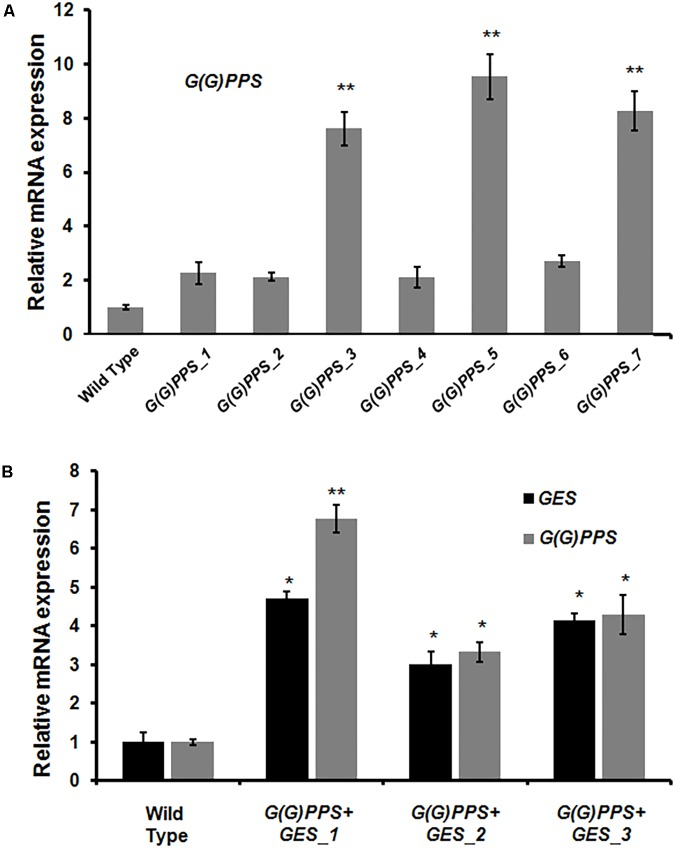 Analysis of gene expression in transgenic G(G)PPS and GES C. roseus plants. qRT-PCR analysis of G(G)PPS (gray bar) (A) and G(G)PPS (gray bar)/ GES (black bar) (B) in transgenic C. roseus plants. Expression levels of genes were normalized to the endogenous reference gene CrN227 and are represented relative to the wild type (WT) controls, which was set to 1. Error bars represent mean ± standard error (SE) of three independent experiments. Significant differences at P