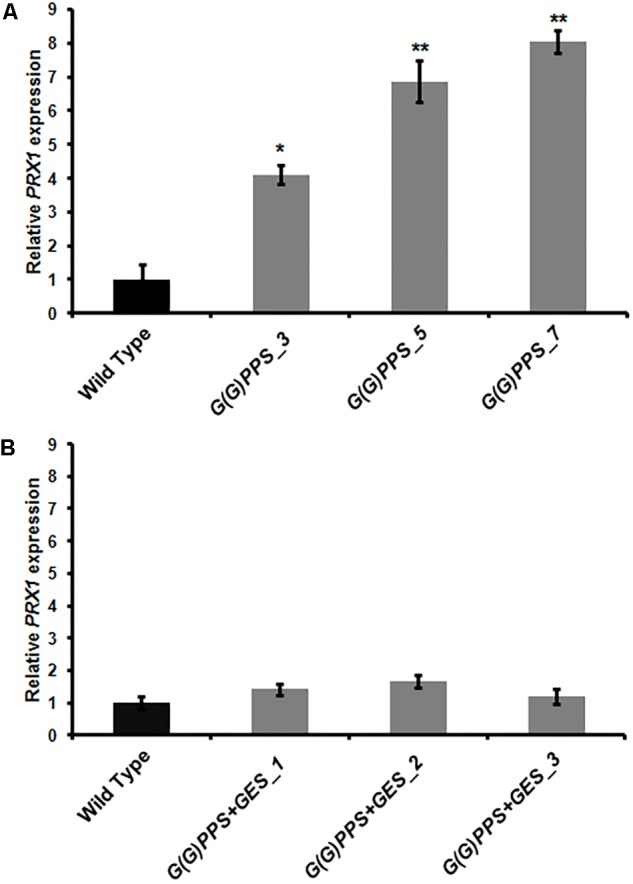 PRX1 expression in transgenic C. roseus plants. Analysis of PRX1 expression by qRT-PCR in G(G)PPS (A) and G(G)PPS + GES (B) overexpressing transgenic C. roseus plants. Expression levels of PRX1 were normalized to the endogenous reference gene CrN227 and are represented relative to the WT controls, which was set to 1. Error bars represent mean ± standard error (SE) of three independent experiments. Significant differences at P