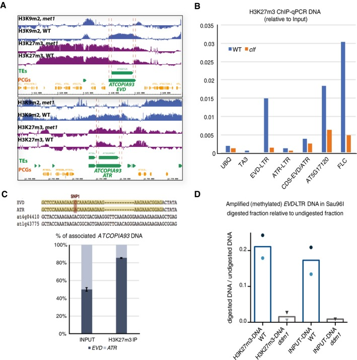 H3K27m3 and DNA methylation co‐exist at ATCOPIA93 IGB (integrative genome browser) views showing H3K9m2 levels and H3K27m3 levels in WT and met1 rosette leaves, at ATCOPIA93 EVD and ATR (ChIP‐chip public data, Deleris et al , 2012 ). Orange horizontal bars: protein‐coding genes; horizontal green bars: transposable elements. The LTRs are delineated by pink bars. Vertical blue bars: H3K9m2 signal relative to H3 (two top lanes); vertical purple bars: H3K27m3 signal relative to H3 for each probe. Analysis of H3K27m3 marks at ATCOPIA93 EVD and ATR by ChIP on rosette leaves, followed by qPCR, in wild‐type plants and in clf plants mutated for the H3K27 methyltransferase CURLY LEAF. Data were normalized to the input DNA. ATCOPIA93 CDS is a region in ATCOPIA93 GAG common to EVD and ATR . AT5g17120 is a region in the protein‐coding gene located upstream of EVD . FLC is a region located in the first intron of FLOWERING LOCUS C which shows high levels of H3K27m3 in vegetative tissues and serves as a positive control. TA3 is a transposon and serves as a negative control. Because of technical variability in the ChIP efficiency, one ChIP experiment is presented here and two other independent experiments are presented in Fig EV3 B. ChIPs were performed on a pool of rosette leaves from eight to 10 plants/genotype. Genomic distribution of H3K27m3 marks between EVD and ATR loci by ChIP‐PCR pyrosequencing. Upper panel: Depiction of the pyrosequenced region (in yellow) within the GAG biotinylated qPCR amplicon obtained after H3K27m3 ChIP‐qPCR and purification with <t>streptavidin</t> beads. The position interrogated corresponds to the discriminating SNP between EVD (C/G) and ATR (A/T). Lower panel: The % indicated represents the % of G ( EVD , dark blue bar) or T ( ATR , light blue bar) at that position. The PCR and sequencing primers were designed so that other ATCOPIA93 ‐derived sequences (divergent and presumably nonfunctional) such as AT4G04410 and AT1G43775 cannot be amplified and so that the allelic ratio between the two active ATCOPIA93 copies EVD and ATR only can be evaluated. To verify this, the qPCR GAG product is also amplified from the Input gDNA as a control where a 50–50% ratio is expected. For clarity, an average of two experiments performed on two independent Input and ChIPs samples is shown (error bars represent standard error (SE) of the mean) and individual datasets presented in Fig EV3 C. Methylation status of the DNA captured with H3K27m3 by Sau96I Chop‐qPCR. H3K27m3 ChIP‐DNA from two independent ChIPs was digested with the methylation‐sensitive restriction endonuclease Sau96I which is sensitive to the methylation of the second C at the GGGCCG site in the LTR (as in Fig EV1 ). The values plotted correspond to the ratio between the amount of amplified DNA in the Sau96I digestion and the amount of amplified DNA in the undigested control, as calculated by the formula 2 −(Ct.digestedDNA–Ct.undigestedDNA) and using primers specific for a region of EVD‐ LTR spanning this Sau96I restriction site. Dark and light symbols are used for the first and second experiments, respectively. Results show that the WT ChIP‐DNA had significantly less digestion compared with the ddm1 control; thus, there was more methylation. Source data are available online for this figure.