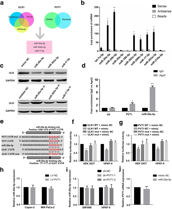 PVT1 modulates ULK1 expression by sponging miR-20a-5p. a The venn diagram of common microRNAs targeting PVT1 3'UTR and ULK1 3'UTR. Three microRNAs were identified, including miR-20a-5p, miR-302a-3p and miR-17-5p; b PVT1 biotin pull down assay was performed. The level of target microRNAs in the pull down of biotin-labelled PVT1 or negative control was investigated and quantified by qRT-PCR in HPAF-II cells; c Western blot analysis of ULK1 expression in HPAF-II cells with or without overexpression (upper) or suppression (lower) of target microRNAs (miR-20a-5p, miR-302a-3p, miR-17-5p). Interestingly, overexpression of miR-20a-5p suppressed ULK1 protein expression most. While inhibition of miR-20a-5p promoted ULK1 protein expression effectively; d RIP assay and qRT-PCR were conducted to detect the enrichment of PVT1 and miR-20a-5p by using AGO2 antibody in HPAF-II cells. Non-immune IgG acted as an internal control. U6 was used as a non-specific control. Enhanced enrichment of PVT1 and miR-20a-5p with AGO2 antibody was observed compared with IgG; e Bioinformatics prediction of miR-20a-5p binding sites in PVT1 3'UTR sequence using Starbase or ULK1 3'UTR sequence using TargetScan was presented; f Dual-luciferase assays showed diminished luciferase activity was observed when co-transfection of psiCHECK-ULK1-WT and miR-20a-5p occurred in HEK 293 T and HPAF-II cells; g Luciferase reporter assay implied that decreased luciferase activity occurred in HEK 293 T and HPAF-II cells co-transfected with psiCHECK-PVT1-WT and miR-20a-5p compared with luciferase reporter with mutant type of PVT1 and miR-20a-5p; h , i qRT-PCR analysis of miR-20a-5p with augment ( h ) of PVT1 expression in Capan-2 and MIA PaCa-2 cells or attenuation ( i ) of PVT1 expression in SW1990 and HPAF-II cells; j Overexpression of miR-20a-5p made no contribution to the level of PVT1 expression. Data are presented as the mean ± S.D. ( n = 3). * P
