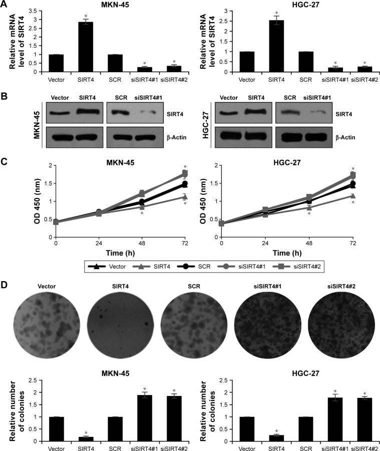 SIRT4 suppresses GC cell proliferation. ( A ) MKN-45 and HGC-27 were transfected with vector or SIRT4, scramble siRNA (SCR), or SIRT4 siRNA (siSIRT4). After transfection for 48 h, the mRNA level of SIRT4 was determined using qRT-PCR. SIRT4 vs vector and siSIRT4 vs SCR, * p