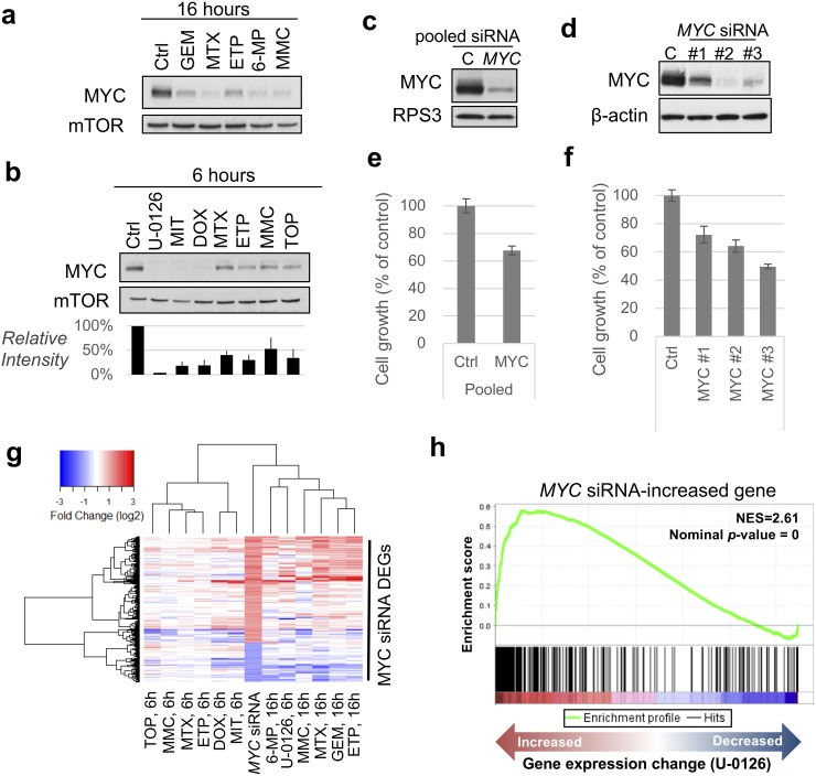 MYC , one of the most influential genes, accounts for the drug-induced change in gene expression (a, b) Immunoblot analysis of MYC under (a) 16-h treatment and (b) 6-h treatment of HT-29 cells with the indicated compounds. mTOR was used as a loading control. Blot intensities of MYC relative to those of mTOR (n=3 independent experiments, mean ± SD) are shown (b, below). The drug concentrations were the same with the description in Supplementary Table 1 . (c, d) Immunoblot analysis of MYC upon treatment with MYC siRNAs. RPS3 and β-actin were used as a loading control. (e, f) Cell growth assay after treatment with MYC siRNAs. ON-TARGETplus SMART pool siRNA was used (in c, e) and Silencer Select Pre-designed siRNAs were used (in d, f). (g) Hierarchical clustering analysis of indicated conditions using DEGs of MYC siRNA. (h) Enrichment plot using MYC siRNA-increased gene sets. Running enrichment score ( top portion, green curve ) and the statistics were calculated from the order of gene sets based on the gene expression change ( bottom ) upon treatment with U-0126. GEM, gemcitabine; MTX, methotrexate; ETP, etoposide; 6-MP, 6-mercaptopurine; MMC, mitomycin C; TOP, topotecan; DOX, doxorubicin; MIT, mitoxantrone.