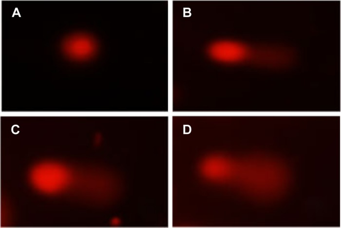 Images of DNA damages detected by comet assays for HEK293T cells treated with varying AgNPs concentrations for 24 h: (A) 0 μg/mL, (B) 10 μg/mL, (C) 20 μg/mL, and (D) 40 μg/mL.
