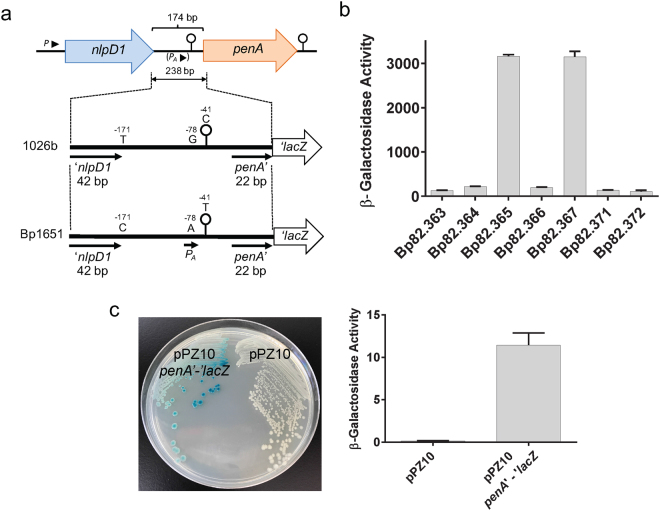Promoter activity in native and genetically engineered nlpD1 - penA intergenic regions. ( a ) Design of reporter lacZ reporter gene constructs. The indicated 238 bp DNA fragments shown by the thick lines (plus flanking SpeI and HindIII restriction sites) were obtained from PCR fragments amplified from 1026b and Bp1651 genomic DNA. The indicated −41C, −78G and −171T nucleotides present on the 1026b fragment were individually changed to −41T, −78A and −171C present in Bp1651. Lastly, a 532 bp DNA fragment (plus flanking SpeI and HindIII restriction sites) containing a 336 bp instead of a 42 bp nlpD1 terminus was obtained from a PCR fragment amplified from 1026b genomic DNA. These fragments were cloned into a mini-Tn 7 - lacZ transcriptional fusion vector and integrated into the Bp82.27 chromosome. ( b ) β-Gal activity in strains harboring the single-copy lacZ reporter constructs. The strains resulting from chromosomal integration were Bp82.363 (empty vector), Bp82.365 (1026b fragment), Bp82.365 (Bp1651 fragment), Bp82.366 (1026b fragment with −41T), Bp82.367 (1026b fragment with −78A), Bp82.371 (1026b fragment with −171C) and Bp82.372 (1026b fragment with a 331 bp instead of 42 bp nlpD1 3′ terminus. β-Gal activities were measured in triplicate on three separate days and are expressed in Miller units. Error bars indicate standard deviation from the mean. ( c ) The P A promoter is active in E . coli . A plasmid was constructed that contains a penA '-' lacZ translational fusion under transcriptional and translation control of the 174 bp 1026b IR with the -78 G to A transition. The resulting pPZ10 penA '-' lacZ thus contains the P A promoter. The first 7 amino acids of PenA are fused in-frame to LacZ. The resulting pPZ10 penA '-' lacZ and the empty pPZ10 vector were transformed into strain <t>DH5α.</t> β-Gal activity was assessed by plating on an LB plate with X-Gal indicator (left) or by measuring hydrolysis of ortho-nitrophenyl-β-D-galactopyranoside (ONPG) in culture gr
