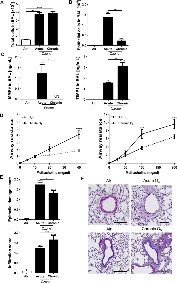 Cytokines, lung function and tissue remodeling after ozone exposure Total cell count in BAL ( A ), epithelial cell desquamation ( B ) and protein measurement of MMP-9 and <t>TIMP-1</t> ( C ). Lung function measurement ( D ) and tissue remodeling: epithelial damage and infiltration score ( E ) with representative histological images of analyzed small bronchi ( F ). Data were pooled from 3 independent experiments with 5–6 mice per group. Comparison of the ozone-exposed groups with air group. *p