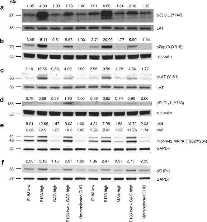 Coagonist pMHC enhance human T-cell response to antigens by increasing phosphorylation of molecules involved in proximal TCR signaling pathway. Human E183 CTL were stimulated by T-REx CHO cells panel for 5 or 30 min, lysed and the lysate was separated on NuPAGE Bis-Tris Gel. The filter was blotted with antibodies against pCD3ζ ( a ), pZap70 ( b ), pLAT ( c ), pPLC-γ1 ( d ), p-Erk1/2 ( e ), and pSHP-1 ( f ). The data are representative of three independent experiments. Uncropped western blotting images are presented in Supplementary Fig. 8