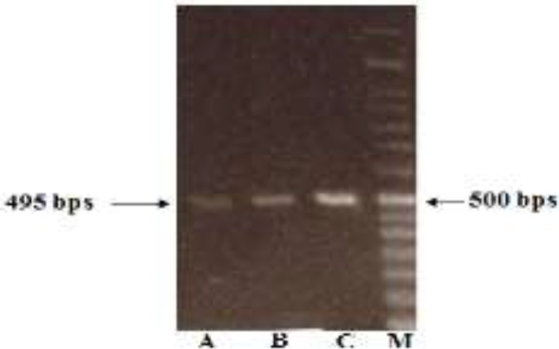PCR amplification of DNAs obtained from each protocol; A: Qiagen Kit; B: Bioneer Kit; C: proposed method; M: DNA Marker (50 bps).
