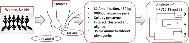 Summary of phylogenetic tree construction from 144 women who each provided duplicate samples (anal + vaginal swabs). The L1 region of HPV was sequenced using next generation sequencing on the Illumina MiSeq platform. The sequence pairs generated were filtered, clustered and aligned to produce 35 phylogenetic trees. HPV 16, 18 and 52 were further analysed for in-depth statistical description of the distribution of clades by site of HPV infection, cervical cytology result and HIV statuses of the women.