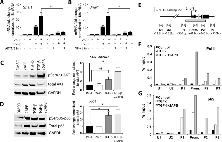 2APB increases TGF-β dependent activation of the AKT pathway and recruitment of NF-κB and Pol II to the Snai1 promoter ( A ) NMuMG cells were serum starved for 4 hours and then treated with 2APB for 24 hours. At 18 hours, the cells were treated with 50 uM of the NFKB inhibitor ACHP for a 4-hour pretreatment before addition of TGF-β at 22 hours. ( B ) NMuMG cells were serum starved for 4 h and then treated with 10 uM of the inhibitor at 20 hours for a 2-hour pretreatment before the TGF-β treatment at 22 hours for 2 hours. ( C ) NMuMG cells were serum-starved for 4 h, and then treated with DMSO, 2APB, TGF-β or TGF-β+2APB for 24 h. Protein isolation from these cells followed by immunoblotting using antibodies to phospho- AKT Ser473 , total AKT, and GAPDH. Data are representative of 3–4 independent biological replicates. Bar graphs next to the image represent the quantitation of blots using LiCOR image software, and statistical analyses performed using GraphPad Prism. * = p -value ≤ 0.05. ( D ) The samples from (C) were immunoblotted for phospho-p65 Ser536 , total p65 (RelA subunit of NF-κΒ), and normalized to GAPDH as above. ( E ) Schematic representation of the primer sets used in chromatin IP covering ~3.8 Kb of the Snai1 promoter region. The putative NF-κΒ binding sites are depicted as vertical lines. Locations of primer sets are indicated below the gene, as are the distances between the primer pairs in bp. ( F ) Chromatin immunoprecipitation (ChIP) was performed using antibodies against Pol II and p65, with IgG as a negative control. real-time PCR amplification of ChIP DNA across the Snai1 locus reveals a peak of Pol II over the promoter region encompassed by primer set 'Prom.' in cells treated with TGF-β (white bars). This peak increases with 2APB treatment (grey bars). No discernable Pol II signal is noted in the vehicle (DMSO) treated cells (black bars). ( G ) While no p65 is apparent in DMSO treated cells, there is increased association of p65 at the Snai1 promoter DNA with addition of TGF-β and with TGF-β+2APB. All data are representative of three independent biological replicates.
