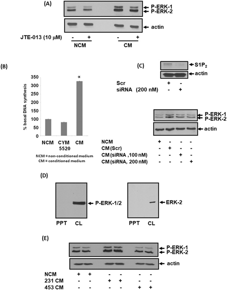Effect of CM from MDA-MB-231 cells on ERK-1/2 activation and DNA synthesis in MEFs MEFs quiescent for 24 hr were treated with non-conditioned medium (NCM) or conditioned medium (CM) from MDA-MB-231 cells for 10 min. MEFs were pre-treated with and without <t>JTE-013</t> (10 μM) for 15 min prior to addition of NCM or CM. MEFs were also treated with CYM5520 (10 μM) in the DNA synthesis experiments. CM was also isolated from MDA-MB-231 cells treated with scrambled or S1P 2 siRNA for 24 h. (A) Western blot showing the effect of CM from MDA-MB-231 cells and JTE-013 on ERK-1/2 activation in MEFs. (B) Bar graph showing the effect of NCM, CM from MDA-MB-231 cells or CYM5520 on [ 3 H]-thymidine incorporation into DNA synthesis in MEFs. Results are expressed as means +/- SEM for n=3. (C) Western blot showing the effect of CM on ERK-1/2 activation in MEFs. CM was isolated from MDA-MB-231 cells that had been treated with either scrambled siRNA (200 nM) or S1P 2 siRNA (100 or 200 nM). Also shown is the effect of S1P 2 siRNA on S1P 2 expression levels in MDA-MB-231 cells. (D) Western blot showing that neither P-ERK-1/2 nor ERK-2 is released from MDA-MB-231 cells into CM as evidenced by their absence in the PPT. (E) Western blot showing the lack of effect of CM from MDA-MB-453 cells on ERK-1/2 activation in MEFs. Blots were probed with anti-phospho ERK-1/2 and anti-S1P 2 antibodies. (A, C, D, E). Blots were re-probed with anti-actin antibody to ensure equal protein loading (A, C, E). Results (A, C, D, E) are representative of 3 independent experiments.
