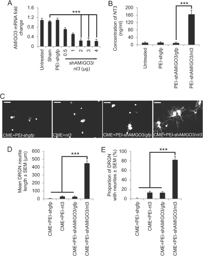 Knockdown of AMIGO3 and NT3 over-expression by PEI-delivered plasmid DNA disinhibited DRGN neurite outgrowth. ( A ) Increasing concentrations of plasmid DNA encoding shAMIGO3/ nt3 efficiently suppressed AMIGO3 mRNA in cultured DRGN. ( B ) Plasmids encoding nt3 significantly increased the titres of NT3 in DRGN culture media. ( C ) Representative images show that in the presence of CME, plasmid DNA encoding gfp , nt3 or shAMIGO3/ gfp did not, but that plasmids encoding shAMIGO3 and nt3 did promote DRGN neurite outgrowth. Note: DRGN do not have neurites due to the presence of inhibitory concentrations of CME, which does not affect their survival. ( D ) Quantification of the mean DRGN neurite length and ( E ) the proportion of DRGN with neurites showed that AMIGO3 suppression combined with nt3 overexpression promoted significant disinhibited DRGN neurite outgrowth. Scale bars in C = 50 μm. ***P