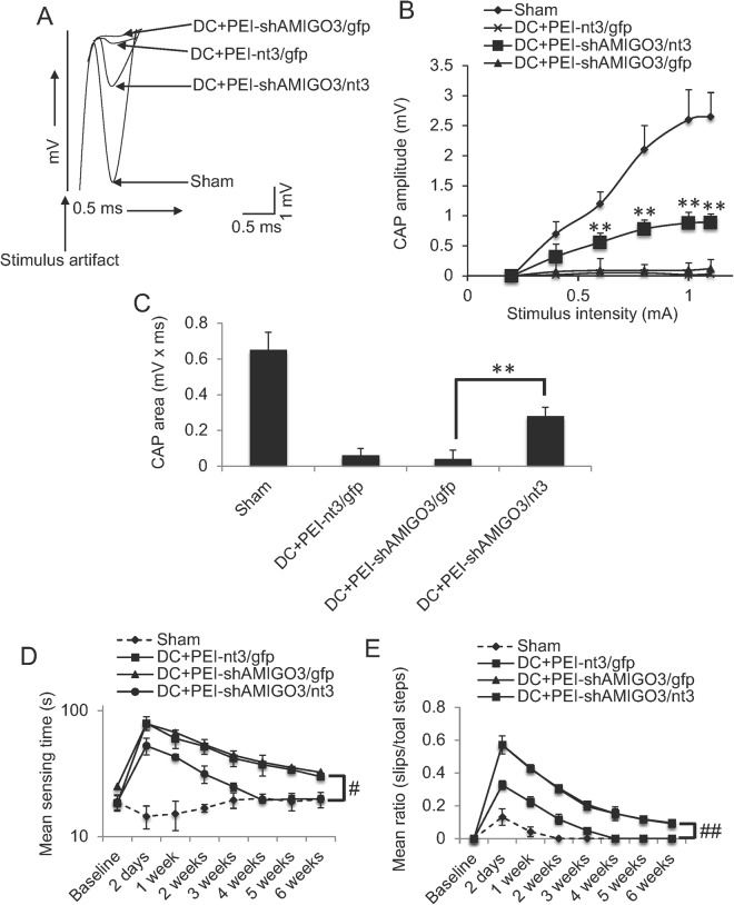 Suppression of AMIGO3 in DRGN preserved the spinal compound action potentials (CAP) across the lesion site. ( A ) Superimposed CAP traces from representative Sham controls, DC + PEI-shAMIGO3/ gfp DC + PEI- nt3 / gfp and DC + shAMIGO3/ nt3 groups. ( B ) Compared to Sham controls, negative CAP amplitudes (mV) were highly attenuated in DC + PEI-shAMIGO3/ gfp and DC + PEI- nt3 / gfp groups but was significantly improved in DC + PEI-shAMIGO3/ nt3 groups (P